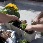 Erste Bepflanzung des heimgruen Blumenkasten -Raupe III