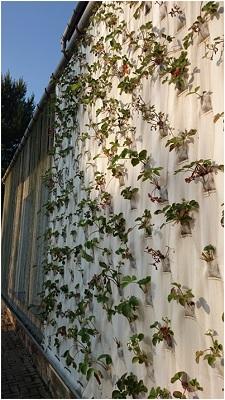 Abbildung 7 DerBOHO-Curtainin der Version 1.0 mit Erdbeeren in einer Fassadeninstallation