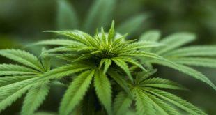 Cannabis Forschung: Universität Hohenheim startet internationales Forschungsnetzwerk